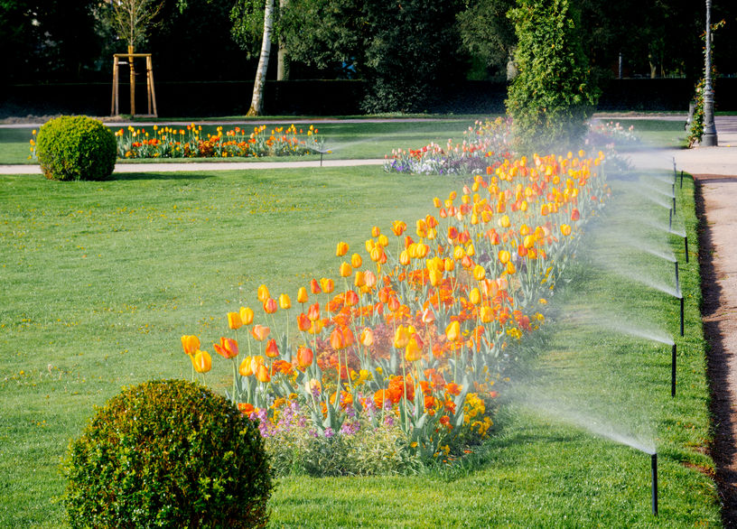 Row of Sprinkler Irrigation System Watering Tulips