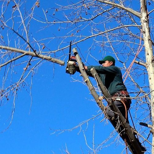 A Picture of a Man Trimming a Tree.